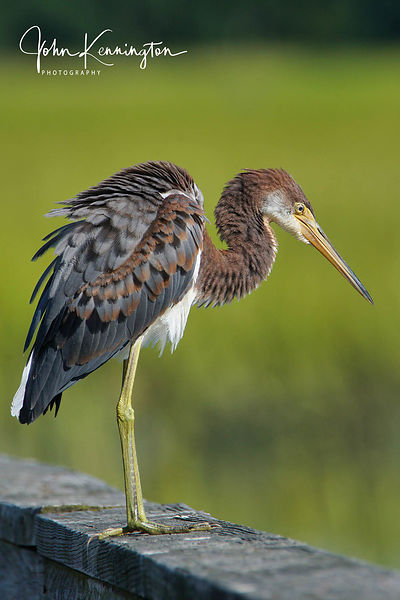 Tricolored Heron, Myrtle Beach, Texas
