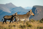 Cape mountain zebra with young, Equus zebra zebra, Samara Game Reserve, South Africa