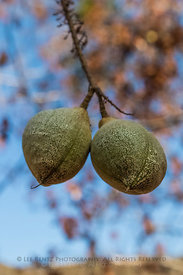 California Buckeye Fruits in Sequoia National Park