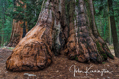 Giant Sequoia (Or Dinosaur Foot), Kings Canyon National Park, California