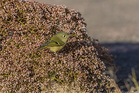 Ruby-crowned Kinglet in Canyonlands National Park