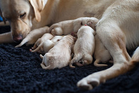 Newborn Puppies Feeding from Mother Dog