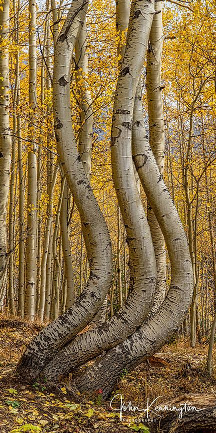 Dancing Aspens No. 5 (Vertical Panoramic), Uncompahgre National Forest, Colorado