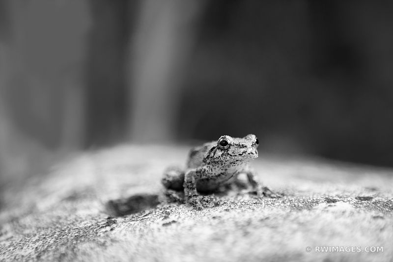 TREE FROG WASHINGTON ISLAND DOOR COUNTY WISCONSIN BLACK AND WHITE