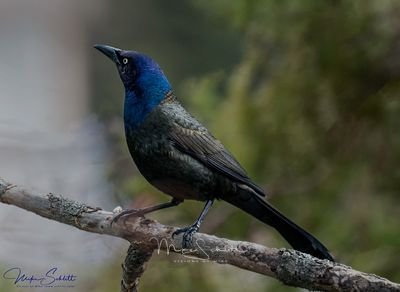 Grackle_crop_clean_sharp_exp_blr_burn_sig_exp_L1010432