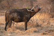 Cape buffalo, Syncerus caffer, Balule Game Reserve, South Africa