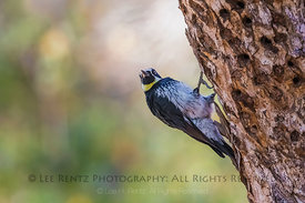Acorn Woodpecker in Foothills of Sequoia National Park