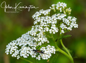 Bug on Yarrow, Great Swamp, New Jersey