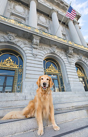 Smiling Golden Retriever Dog Sitting at S SF City Hall