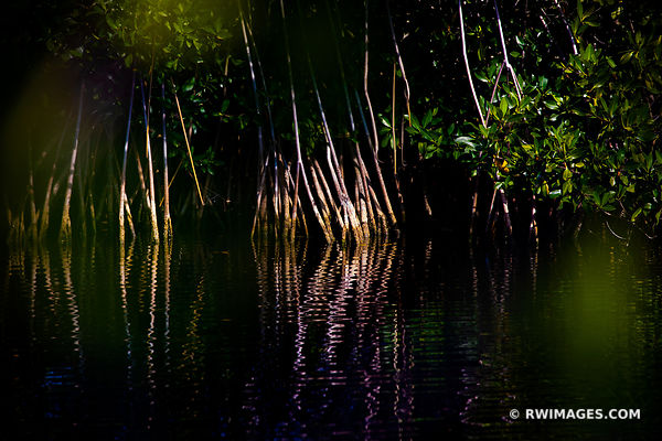 MANGROVES BIG CYPRESS NATIONAL PRESERVE EVERGLADES FLORIDA
