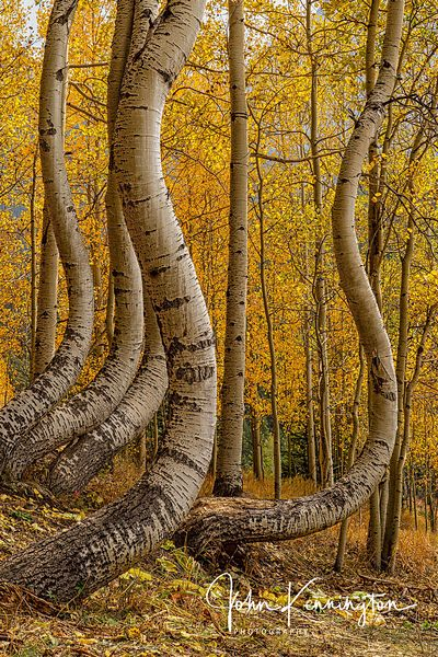 Dancing Aspens No. 1 (Vertical), Uncompahgre National Forest, Colorado