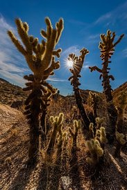 Teddy Bear Cholla in Saguaro National Park
