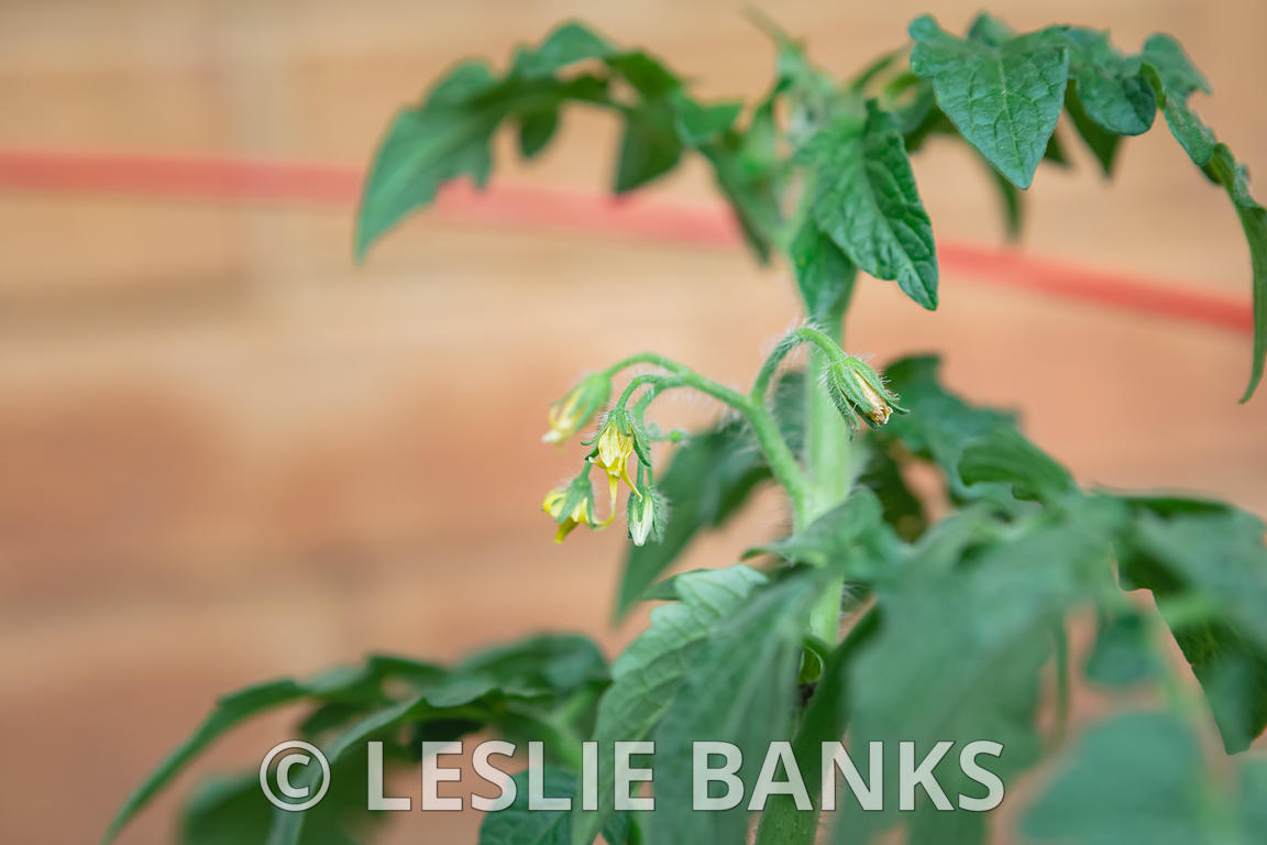 Flowers on a Tomato Plant