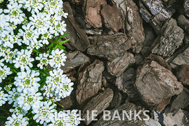 Candytuft Flowers on Mulch
