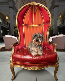 Wire-haired Dachshund Lying in Fancy Chair