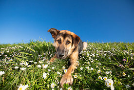 Curious German Shepherd Mix Puppy Lying on Grassy Hill