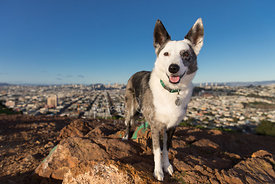 Smiling Cattle Dog Mix Standing on Hill Above San Francisco