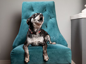 Studio Photo of Chihuahu Mix dog Howling on Blue Chair