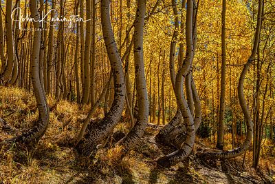 Dancing Aspens No. 1, Uncompahgre National Forest, Colorado