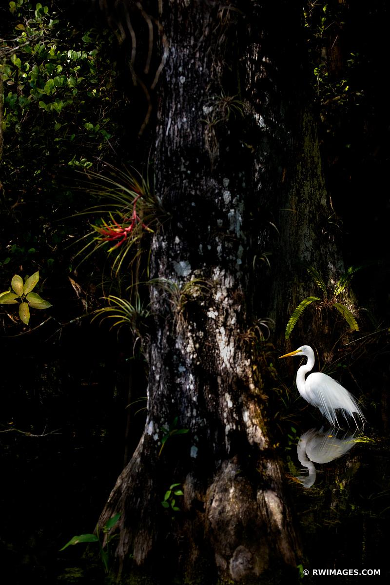 WHITE EGRET IN DARK SWAMP FOREST BIG CYPRESS NATIONAL PRESERVE EVERGLADES FLORIDA