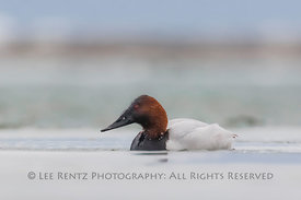 Canvasback Duck on Lake St. Clair