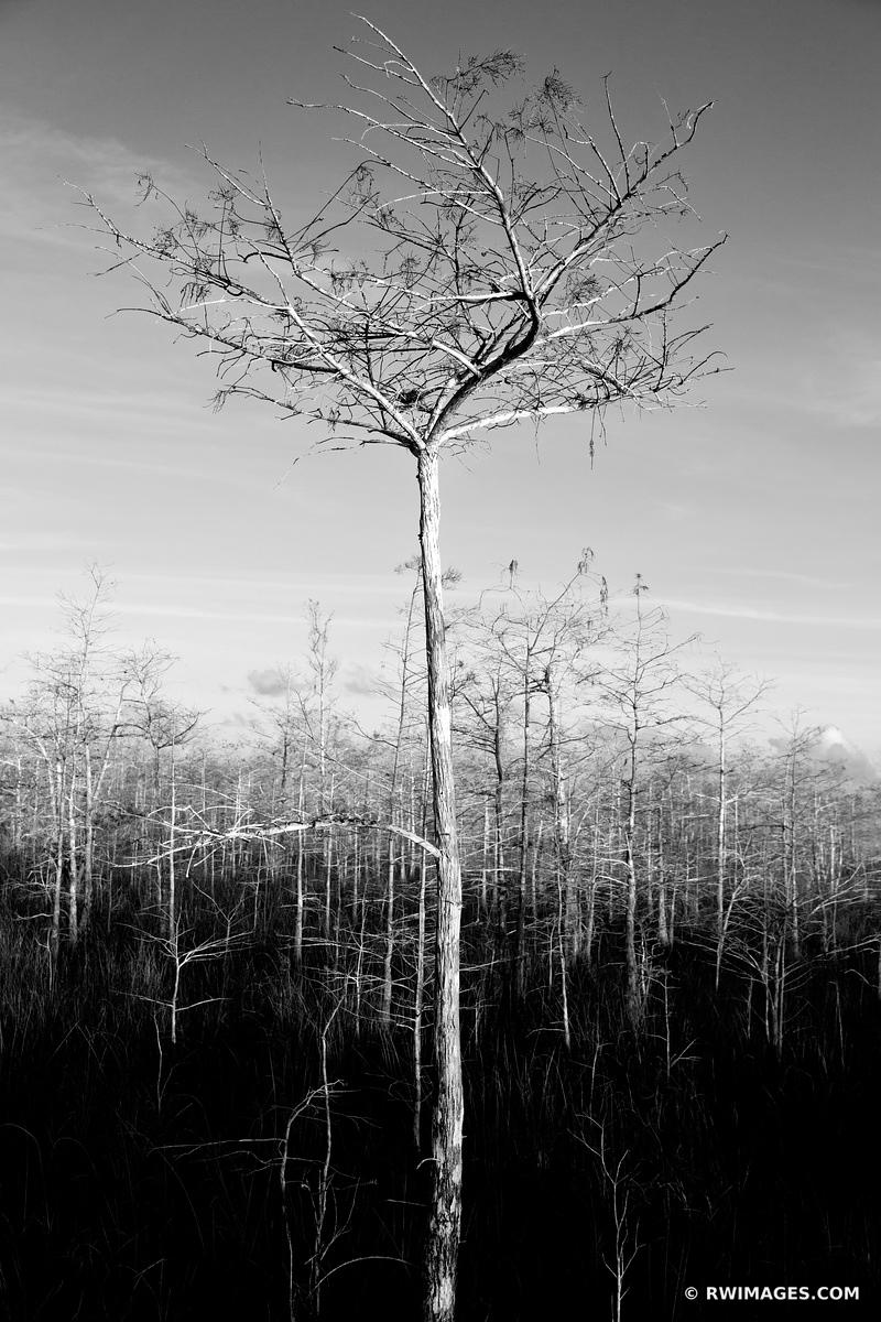 DWARF CYPRESS EVERGLADES NATIONAL PARK FLORIDA BLACK AND WHITE VERTICAL