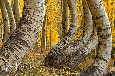 Dancing Aspens No. 3, Uncompahgre National Forest, Colorado