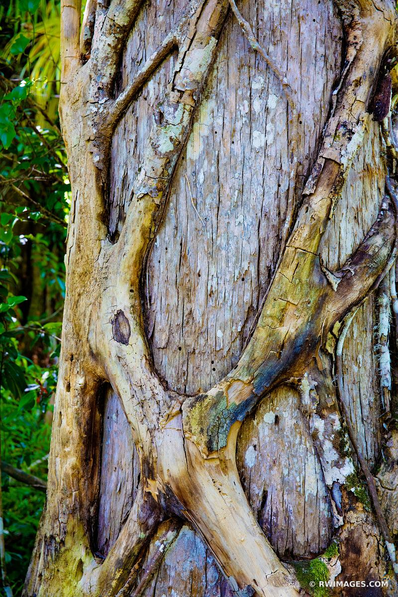 STRANGLER FIG BIG CYPRESS BEND FAKAHATCHEE STRAND PRESERVE STATE PARK EVERGLADES FLORIDA COLOR VERTICAL