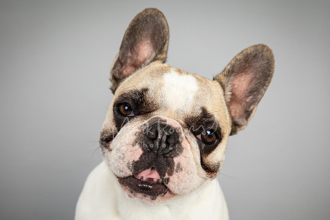 Close-up Smiling French Bulldog Tilting Head on Gray Background
