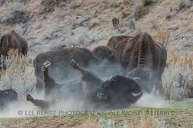 Bison Wallowing In Theodore Roosevelt National Park