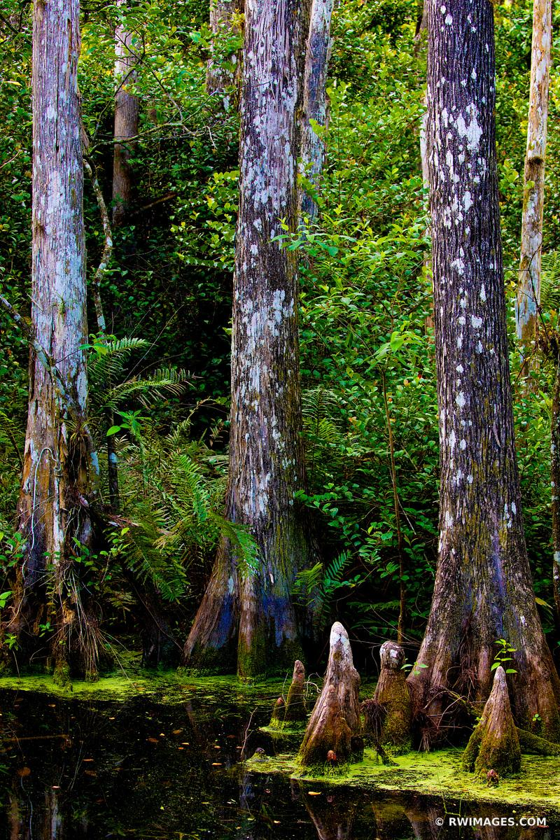 SWAMP CYPRESS TREES BIG CYPRESS NATIONAL PRESERVE EVERGLADES FLORIDA COLOR VERTICAL