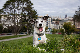Small gray and white Terrier Mix with Mouth Open in SF Park