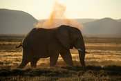 African elephant taking a dust bath, Loxodonta africana africana, Samara Game Reserve, South Africa