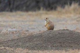 Black-tailed Prairie Dog In Theodore Roosevelt National Park
