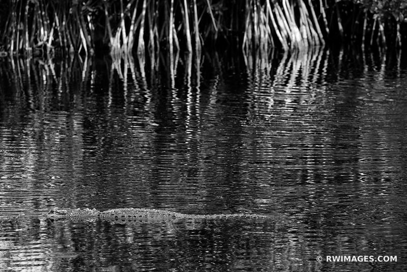 ALLIGATOR BIG CYPRESS NATIONAL PRESERVE EVERGLADES FLORIDA BLACK AND WHITE