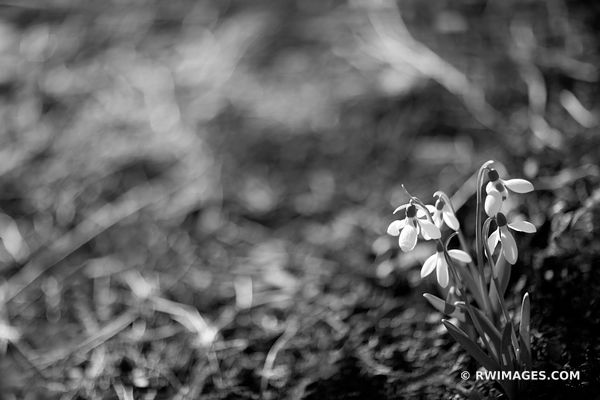SNOWDROPS SPRING BOTANICALS BLACK AND WHITE