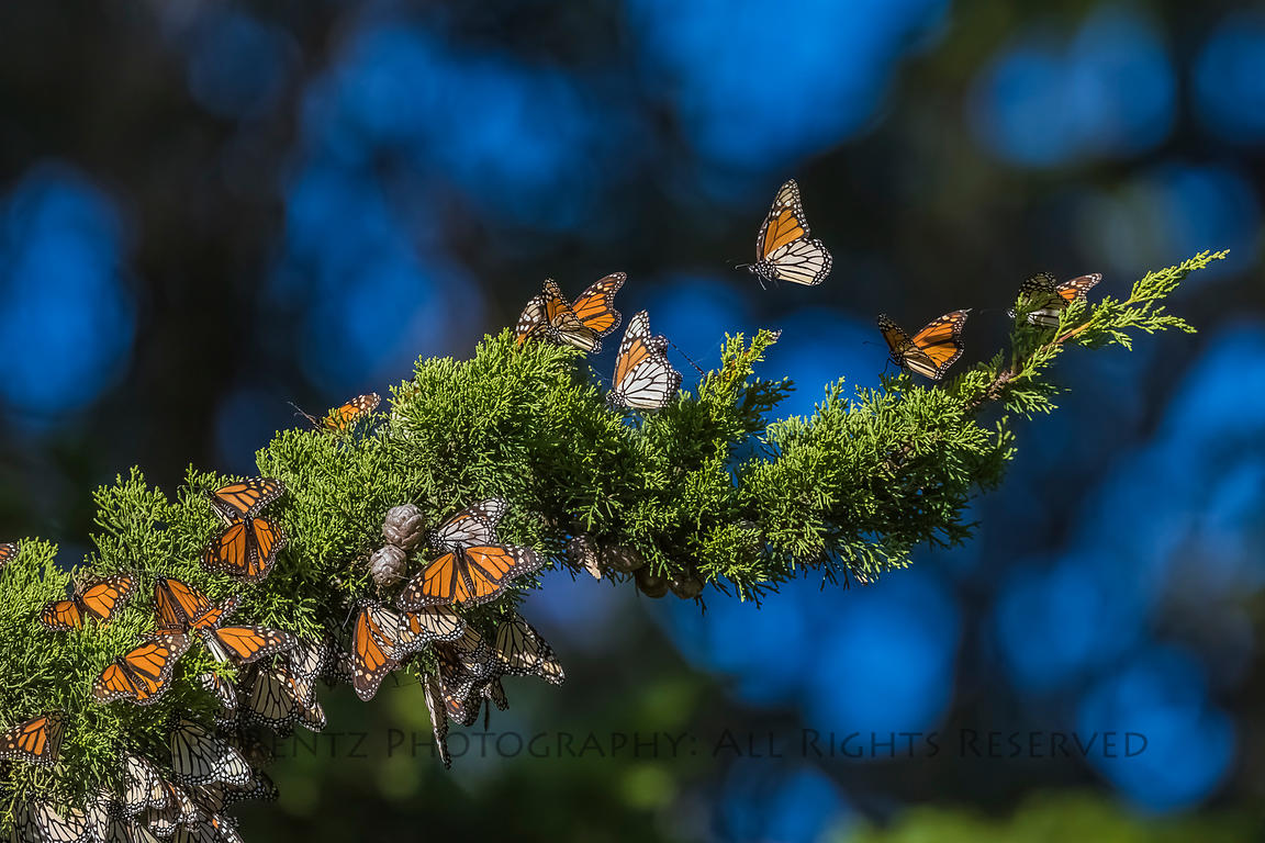 MONARCHS ON MONTEREY CYPRESS
