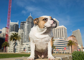 English Bullddog Giving Side-Eye Glance with Downtown San Francisco in Background