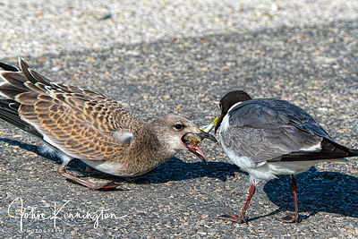 Laughing Gull Feeding Chick, Rockport, Texas