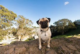 Tan Pug Sitting on Rocks in Hilly San Francisco Park