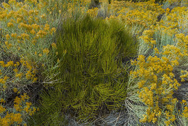 Mormon Tea and Rabbitbrush in Nevada