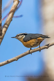 Red-breasted Nuthatch in Minnesota's Sax-Zim Bog