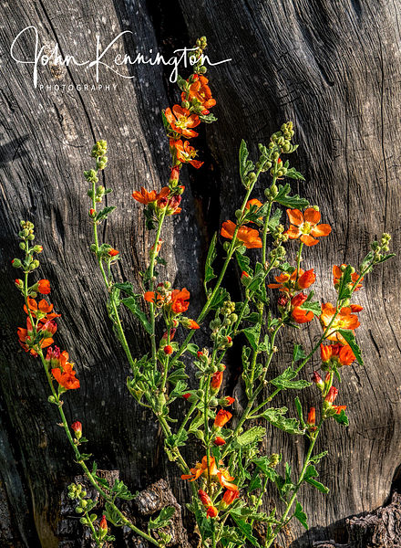 Globemallow at Aguirre Springs, New Mexico