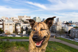 close-up-shepherd-mix-in-san-francisco--park-stock-photo-4344