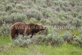grizzly_bear_tetons_06202020-1