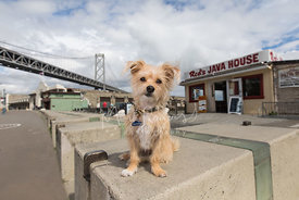 Small Terrier Mix Sitting Near Reds Java and Bay Bridge in SF