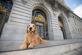 Happy Golden Retriever Lying in Front of SF City Hall