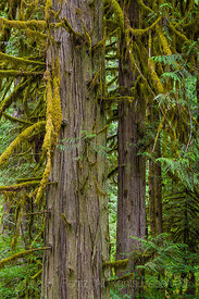 Giant Western Red Cedar in Federation Forest State Park