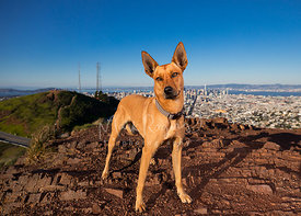 Cattle Dog Mix on Twin Peaks in San Francisco