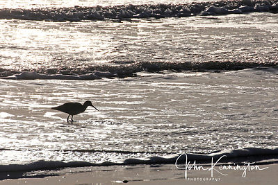 Greater Yellowlegs in Surf, Galveston, Texas